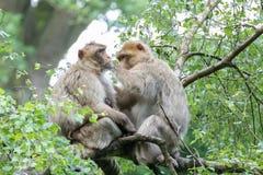Makaken-Eltern mit Baby in den Treetops stockfoto