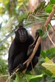Makaken endemischer Sulawesi-Affe Celebes mit Haube Lizenzfreie Stockbilder