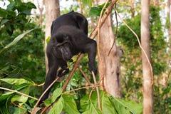 Makaken endemischer Sulawesi-Affe Celebes mit Haube Stockfotos