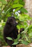 Makaken endemischer Sulawesi-Affe Celebes mit Haube Stockbild