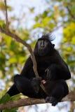 Makaken endemischer Sulawesi-Affe Celebes mit Haube Lizenzfreie Stockfotografie