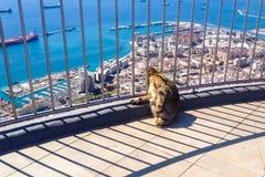 Makaken Gibraltars Barbary, der auf die Oberseite des Felsens von Gibraltar sitzt und unten schaut Stockbild