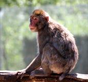 Makaken haftete der Niederlassung eines Baums in der Savanne an Stockfotos
