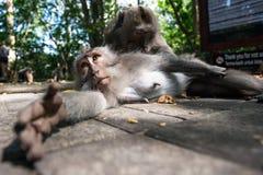 Makaken im Affe-Wald, Bali Lizenzfreie Stockfotos