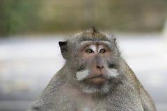 Makaken im Affe-Wald, Bali Lizenzfreies Stockfoto
