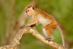 Makaken im Waldtoquemakaken, Macaca sinica Monkrey auf dem Baum Makaken im Naturlebensraum, Sri Lanka Detail des Affen, Lizenzfreie Stockfotos