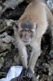 Makaken intrigierte durch die Kamera auf einem Strand von Thailand Lizenzfreies Stockbild