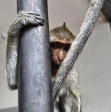 Makaken in Lopburi, Thailand Lizenzfreie Stockbilder