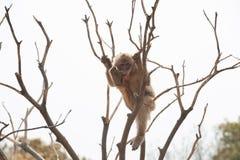 Makaken-Macaca mulatta Lizenzfreies Stockfoto