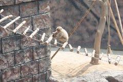 Makaken-Macaca mulatta Stockfotos
