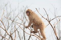 Makaken-Macaca mulatta Stockfotografie
