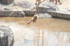 Makaken-Macaca mulatta Lizenzfreie Stockbilder