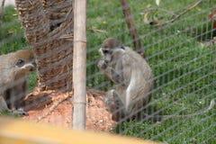 Makaken-Macaca mulatta Lizenzfreies Stockbild