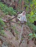 Makaken mit dem langen Schwanz sitzt auf einem Baum Lizenzfreie Stockbilder