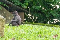 Makaken mit Haube beim Sitzen auf einer Rasenfläche Stockbilder
