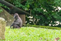 Makaken mit Haube beim Sitzen auf einer Rasenfläche Lizenzfreie Stockfotos