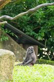 Makaken mit Haube beim Sitzen auf einer Rasenfläche Lizenzfreie Stockfotografie