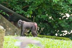 Makaken mit Haube beim Sitzen auf einer Rasenfläche, die sein rotes b zeigt Stockfoto