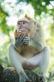 Makaken mit Kokosnuss Lizenzfreies Stockbild