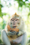 Makaken mit Kokosnuss Lizenzfreie Stockbilder