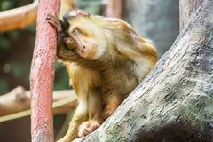 Makaken oder Affe, die auf einer Niederlassung sitzen Affen lebt im Ubud-Affe-Wald in Bali, Indonesien Stockbild