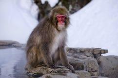 Makaken-Schnee-Affe bis zum heißer Quelle Stockbilder