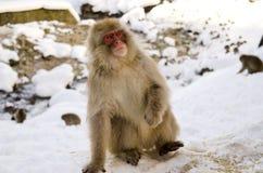 Makaken-Schnee-Affe, der oben schaut Lizenzfreie Stockbilder