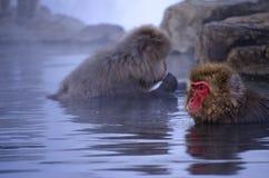 Makaken-Schnee-Affe im Wasser Lizenzfreie Stockbilder