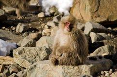 Makaken-Schnee-Affe-Sitzen Lizenzfreies Stockfoto