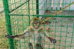 Makaken sind in einem Käfig Stockfoto