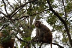 Makaken sitzen auf dem Baum Lizenzfreies Stockfoto