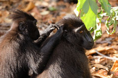 Makaken Sulawesi-Affe Celebes mit Haube Stockbild