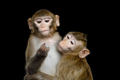 Makaken zwei auf Schwarzem Lizenzfreie Stockfotos