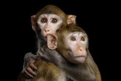 Makaken zwei auf Schwarzem Stockbilder