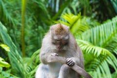 Makakenaffe am Affe-Wald, Bali Lizenzfreie Stockfotografie