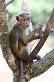 Makakenaffe auf dem Baum, der herum schaut Lizenzfreie Stockbilder