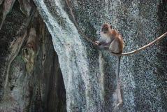 Makakenaffe auf einer Liane Stockfotos