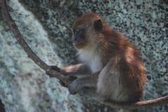 Makakenaffe auf einer Liane Stockfoto