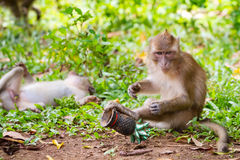 Makakenaffe in den wild lebenden Tieren Stockfotos