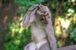 Makakenaffe, der am Affe-Wald, Ubud verkratzt Stockfoto