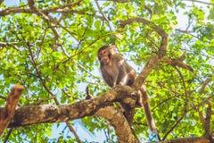 Makakenaffe, der auf dem Baum sitzt Peildeck, Vietnam Lizenzfreie Stockfotos