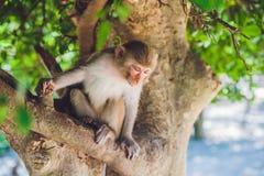 Makakenaffe, der auf dem Baum sitzt Peildeck, Vietnam Stockfotos