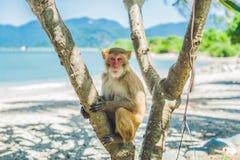 Makakenaffe, der auf dem Baum sitzt Peildeck, Vietnam Lizenzfreie Stockfotografie