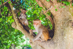 Makakenaffe, der auf dem Baum sitzt Peildeck, Vietnam Stockbilder