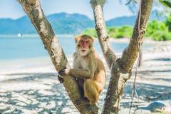 Makakenaffe, der auf dem Baum sitzt Peildeck, Vietnam Lizenzfreies Stockbild
