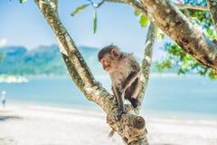 Makakenaffe, der auf dem Baum sitzt Peildeck, Vietnam Stockbild