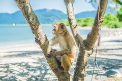 Makakenaffe, der auf dem Baum sitzt Peildeck, Vietnam Lizenzfreies Stockfoto