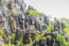 Makakenaffe, der auf Felsen springt Peildeck, Vietnam Stockbilder