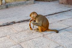 Makakenaffe, der Banane bei Swayambhunath Stupa der Affe isst Stockfotos