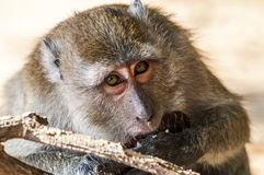 Makakenaffe, der Kokosnuss auf der Natur isst Lizenzfreie Stockfotos
